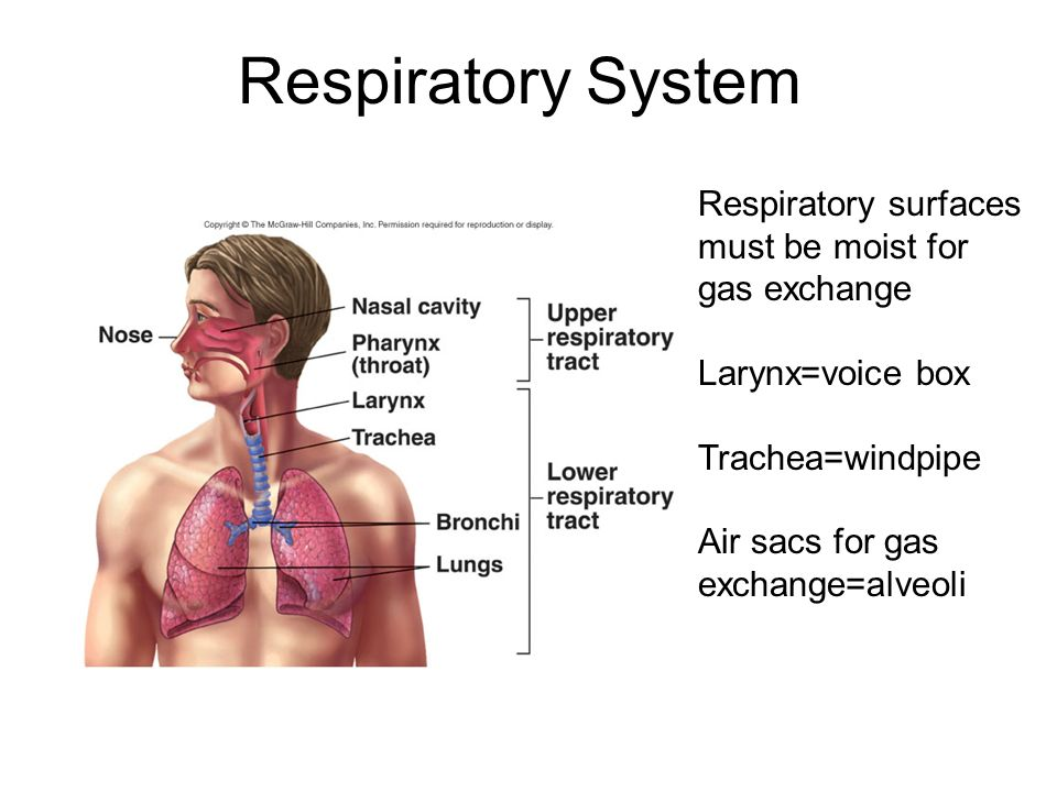 Respiratory System Respiratory surfaces must be moist for gas ...