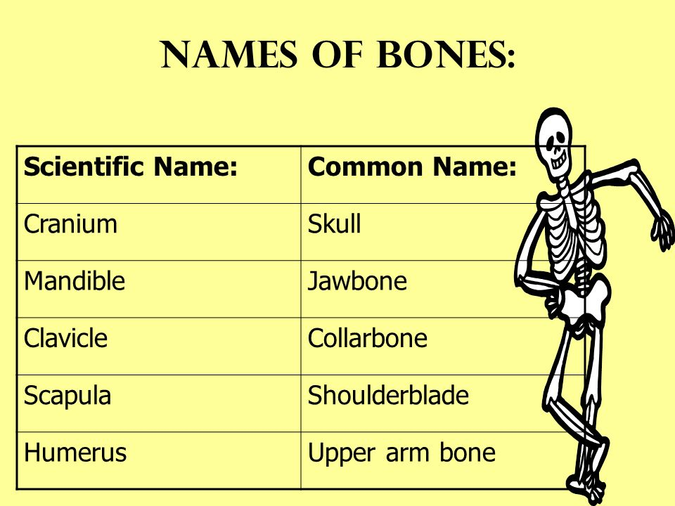 The Skeleton Names Of Bones Scientific Namecommon Name