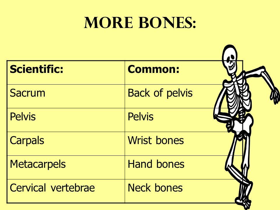 The Skeleton Names Of Bones Scientific Namecommon Name