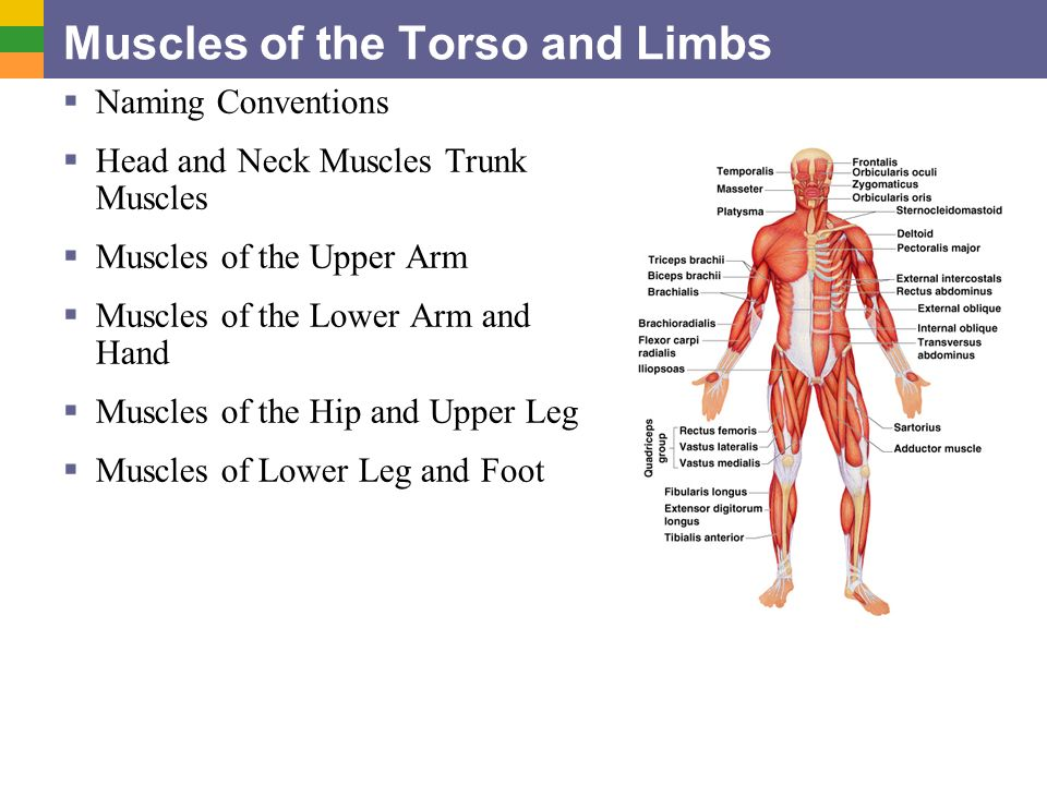 Muscles of the Torso and Limbs  Naming Conventions  Head and ...