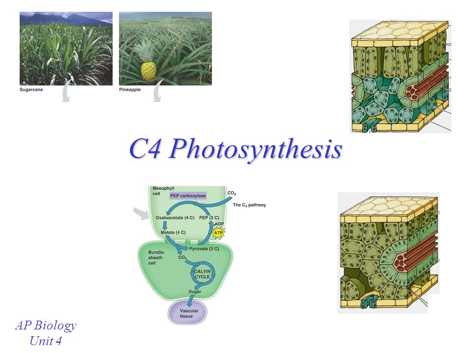 C4 Photosynthesis AP Biology Unit 4 Review: C3 Photosynthesis During ...