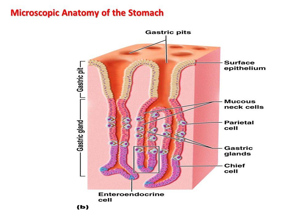 Pathology Of Git Stomach Oct Prof Dr Faeza Aftan Col Of Med