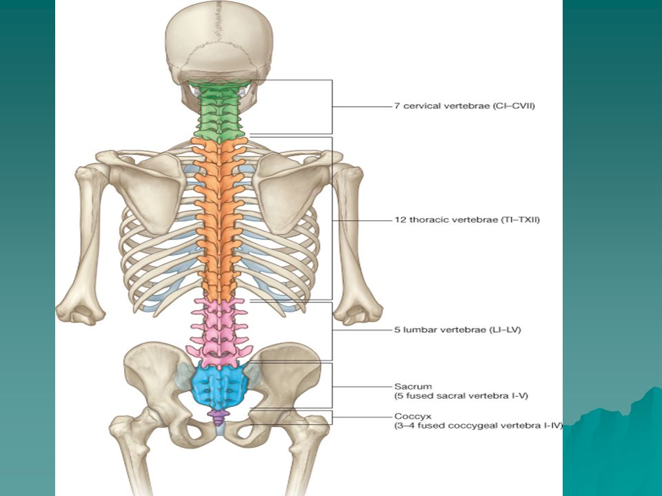 Vertebral Column, Spinal Cord & Nerves George Salter, PH - ppt video ...