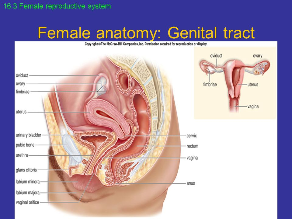 General anatomy of the Female Reproductive System. - ppt download