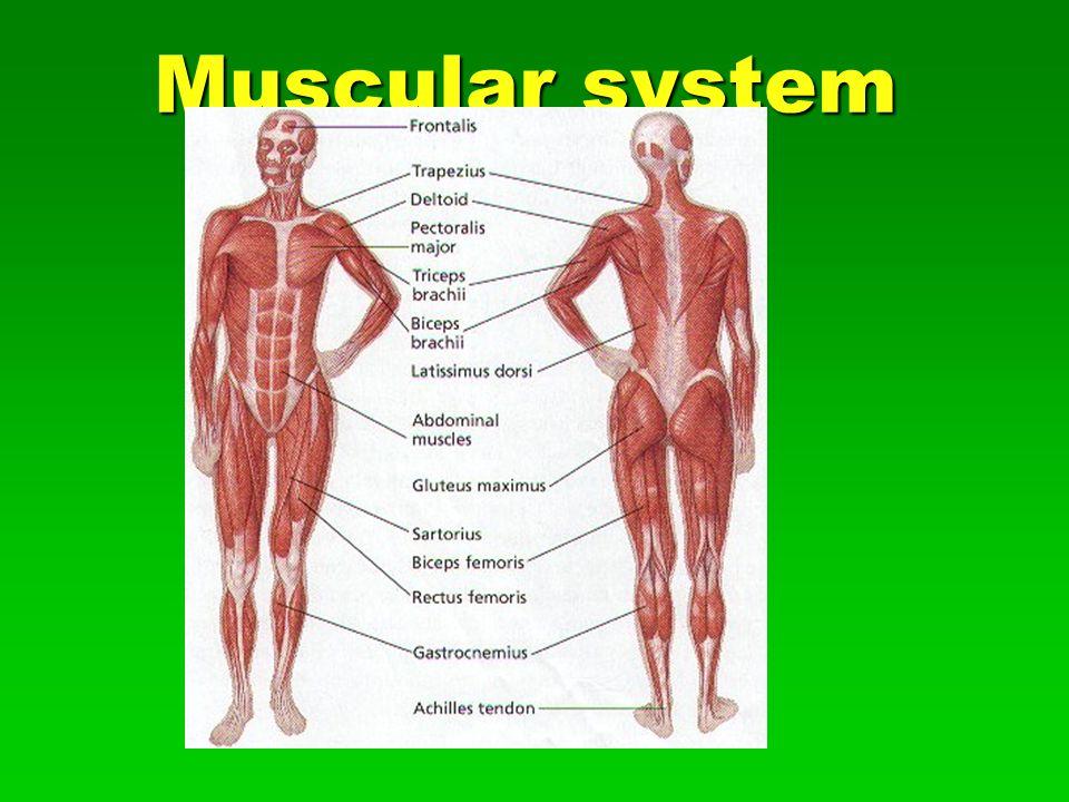 Muscular system. Types of Muscle Cardiac Cardiac  Cardiac muscle ...