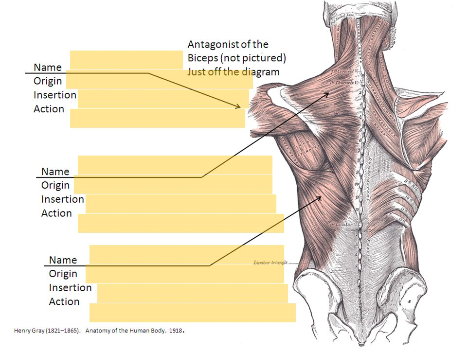 Muscle Quiz 3 Upper Arm Back And Chest Ppt Download