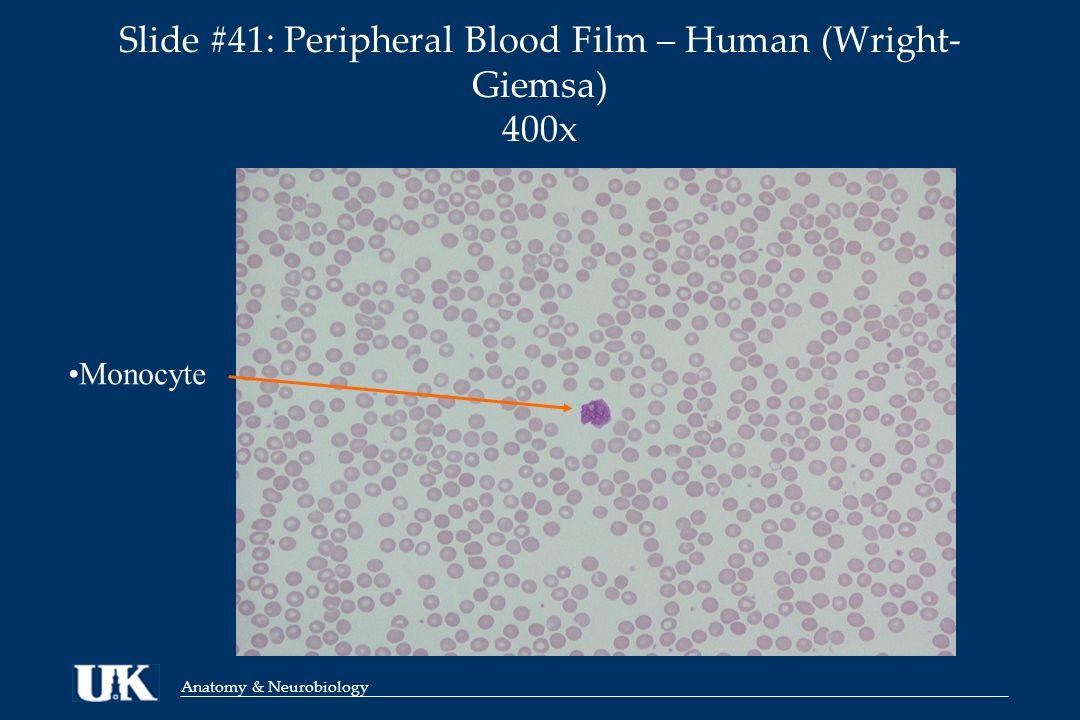 Anatomy & Neurobiology ANA 812 Lab Session 11 Peripheral Blood Bryan ...