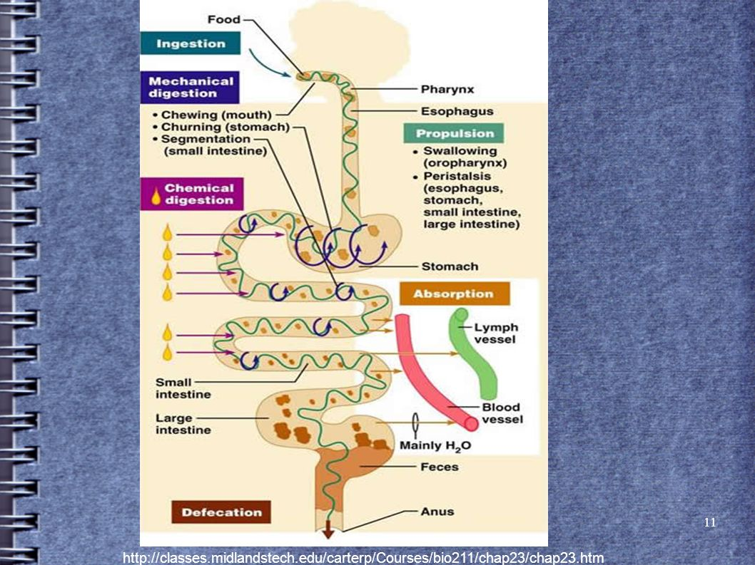 The Human Digestive System 1. Major stages of digestion: 1 ...