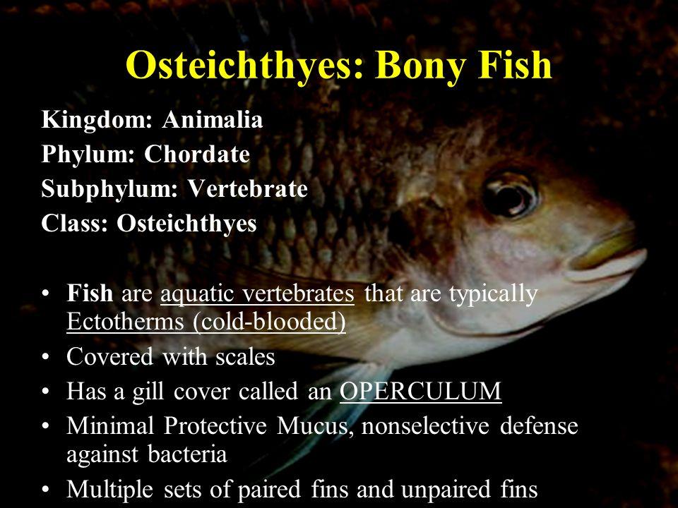 Bony Fish Anatomy Osteichthyes Three Classes of Fish 1.Agnathan ...
