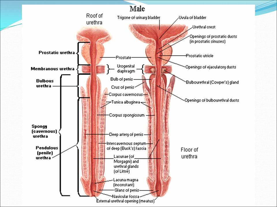 Urinary bladder and Urethra Dr. Sama-ul-Haque Dr. Safaa Ahmed. - ppt ...