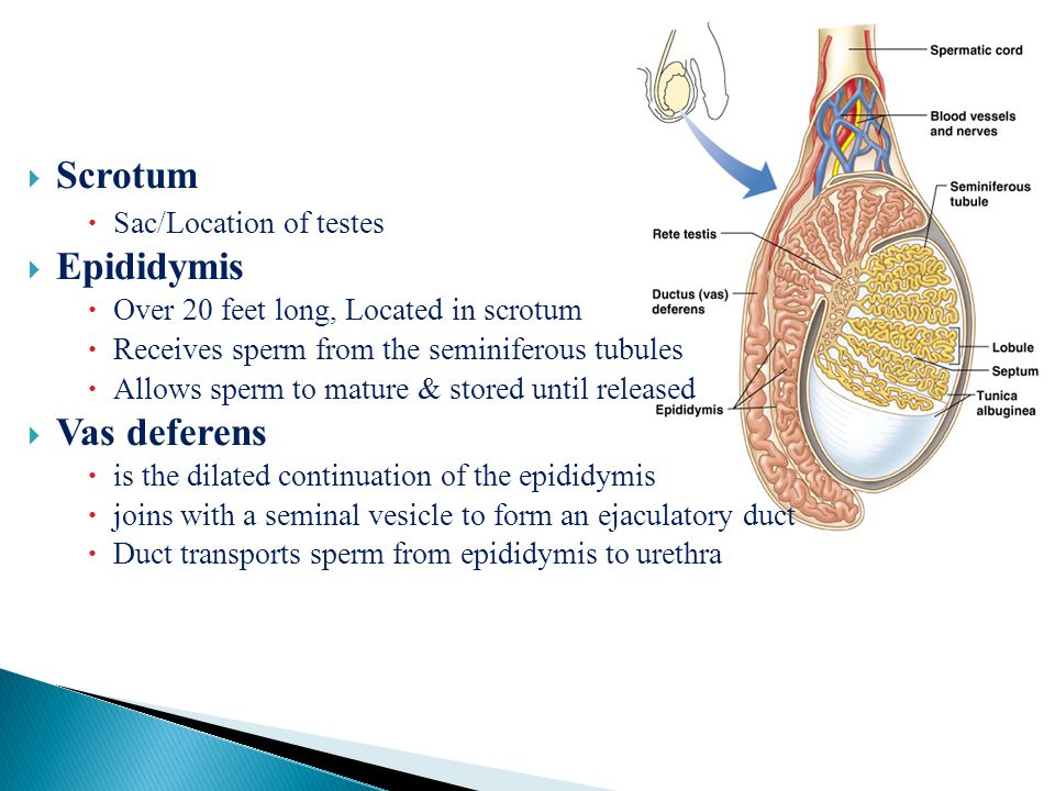 Dr Mohammad Nazam Ansari Reproductive System Anatomy Practical Phl