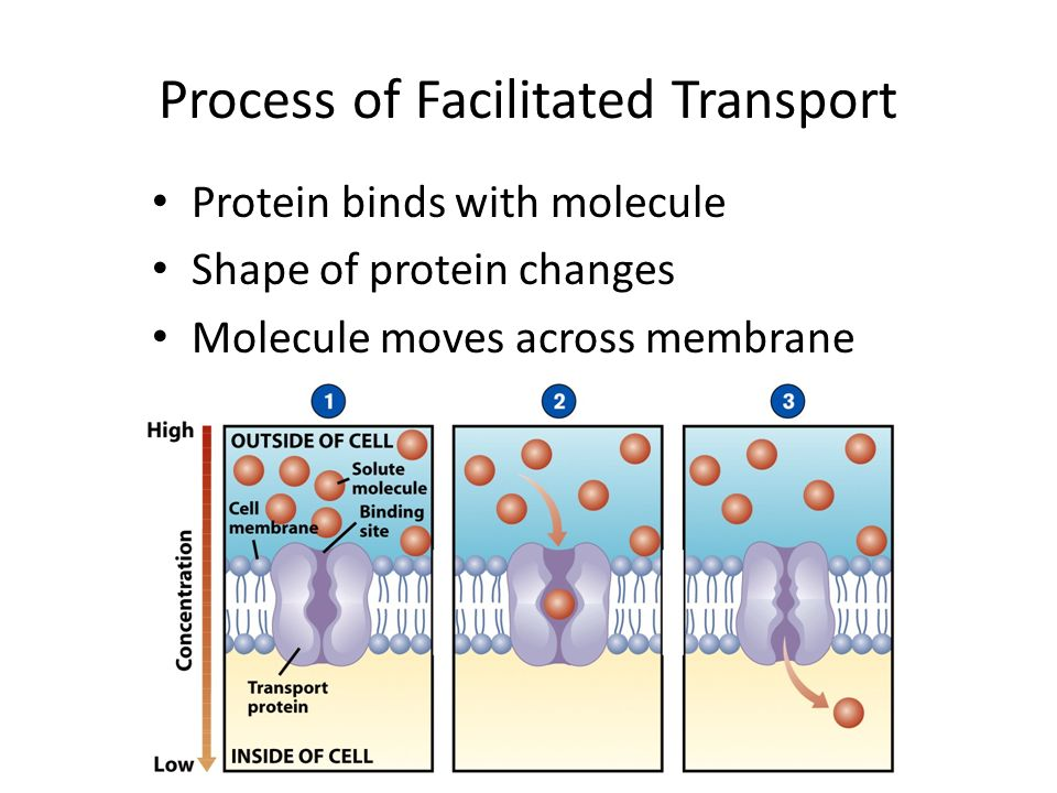 Process of Facilitated Transport Protein binds with molecule Shape of protein changes Molecule moves across membrane