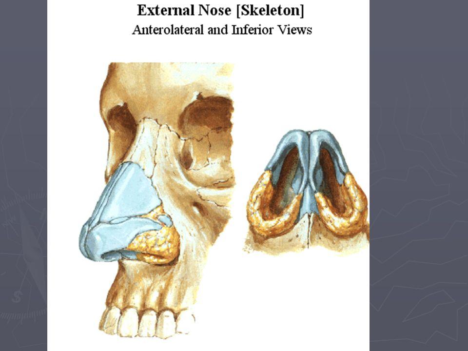 Nose Anatomy Images - human internal organs diagram