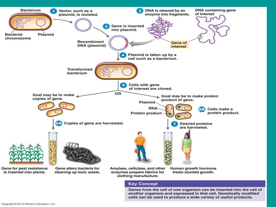 human growth hormone genetic engineering
