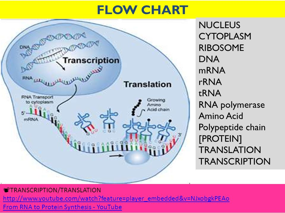 Dna transcription diagram protein sythesis introduction to mon 4 28 wk 6 objective 7 topic making protein do now daily rh slideplayer com dna transcription and translation animation dna transcription direction ccuart Choice Image