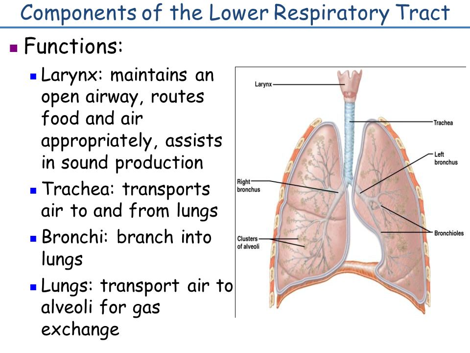Respiratory System 1 Human Respiratory System Components Of The