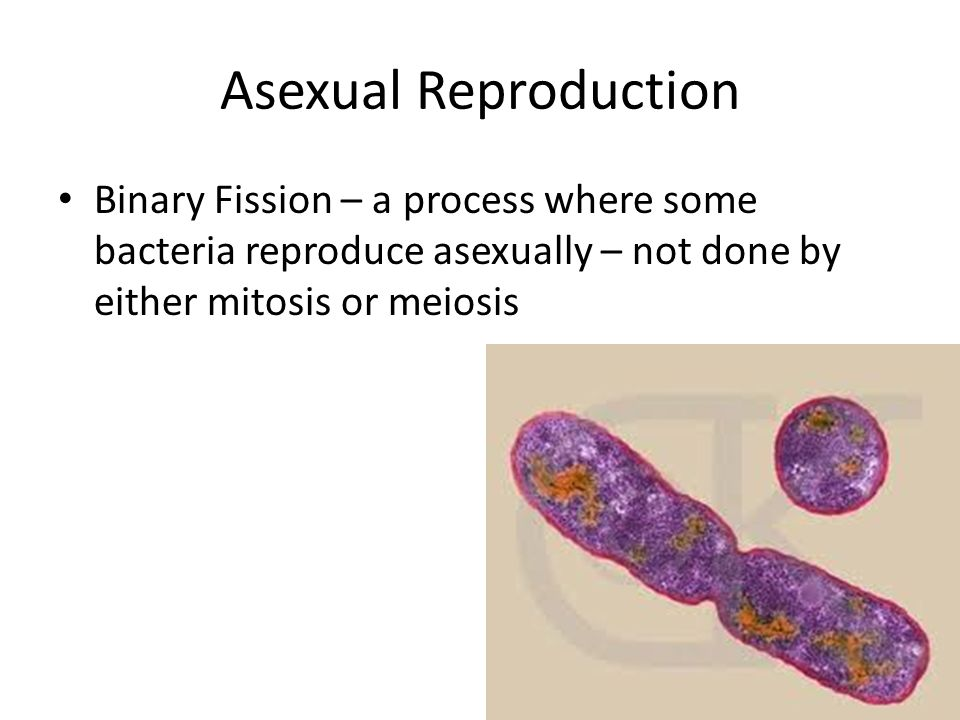 Bacteria reproduce asexually by binary fission process