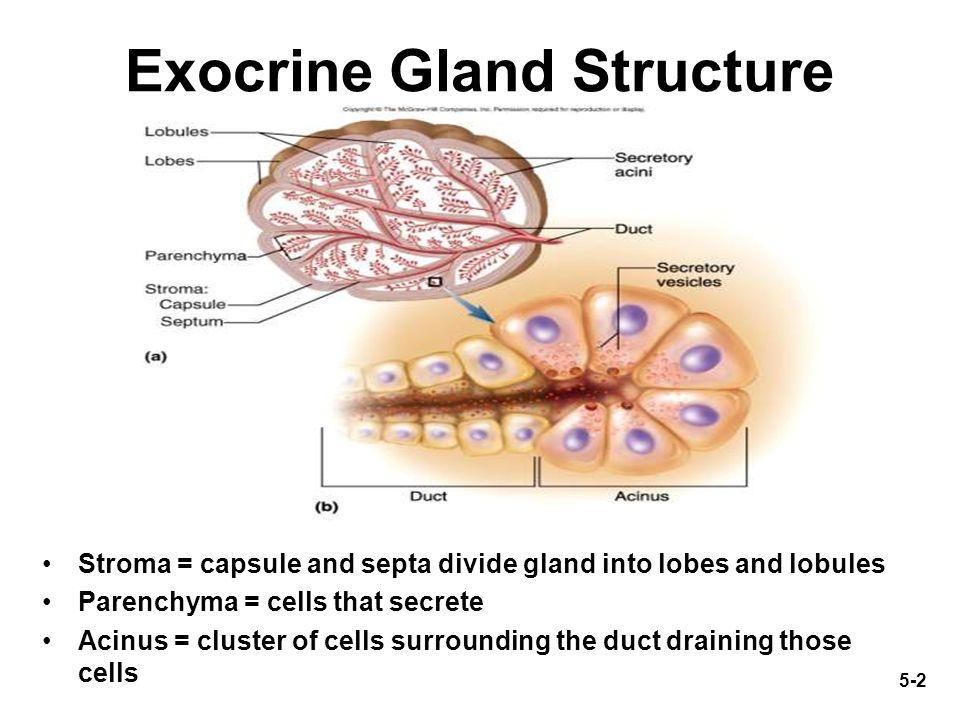 Epithelium Glandular Exocrine Diagram House Wiring Diagram Symbols