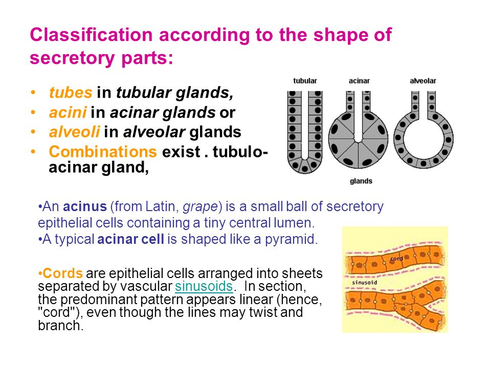 5 1 Endocrine And Exocrine Glands Secrete Substances Composed Of