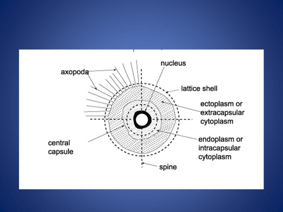 radiolarians su ppt video online download Slime Mold Diagram