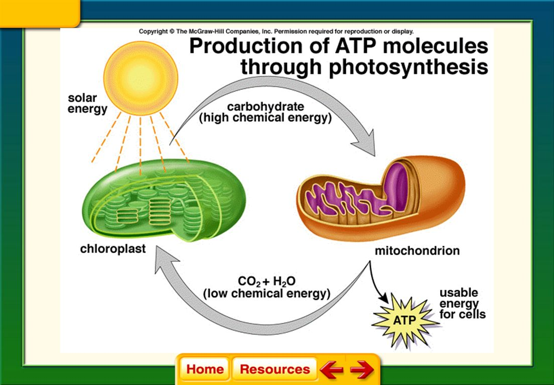 Mcgraw hill cellular energy answer guide array cellular respiration 8 3 ppt download rh slideplayer com fandeluxe Image collections