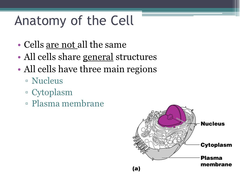 Cells Anatomy Cells And Tissues Carry Out All Chemical Activities