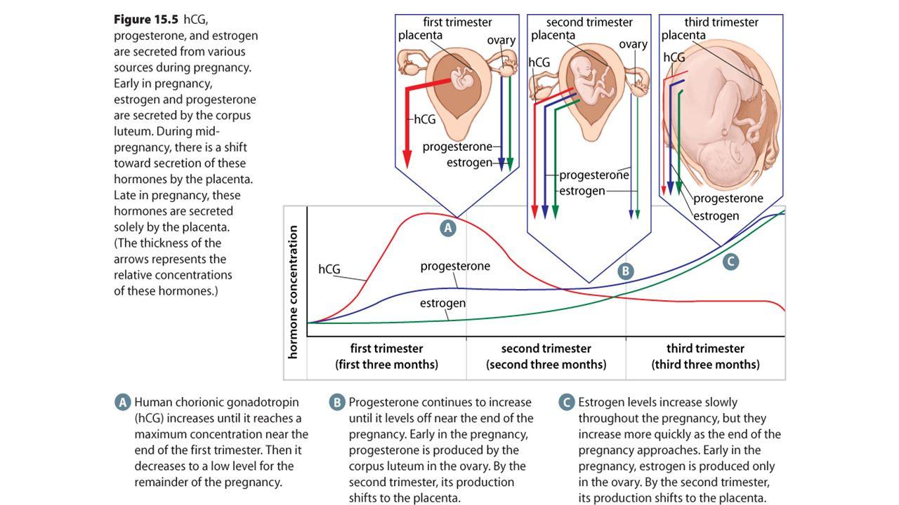 Birth-- Parturition Birth (parturition) Delivery: A pregnancy lasts