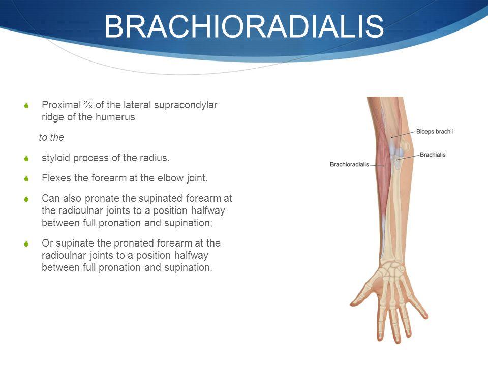 Homework Review Exam Anatomy For Elbow Forearm Wrist Hand