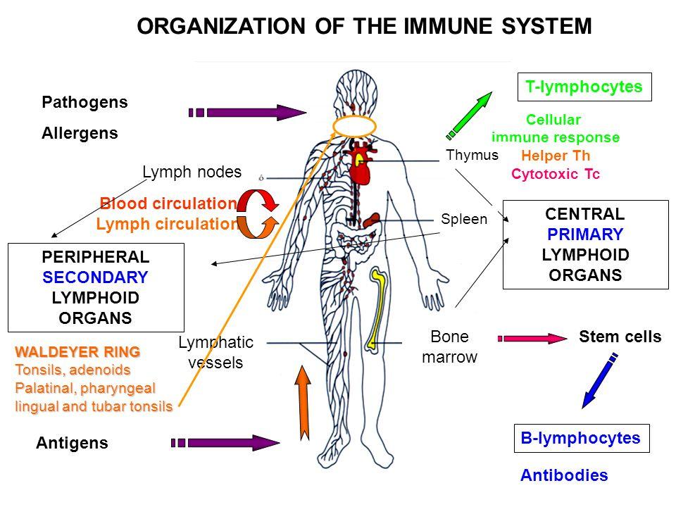 Organs Of The Immune System Lymphoid Organs Organization And