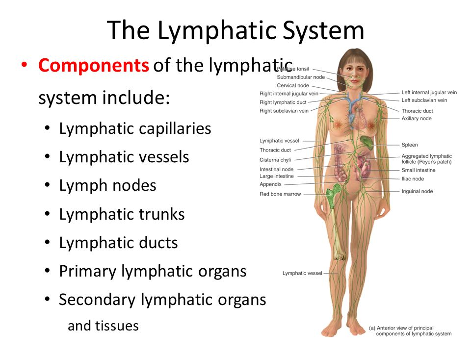 Chapter 22 The Lymphatic System And Immunity The Lymphatic System A