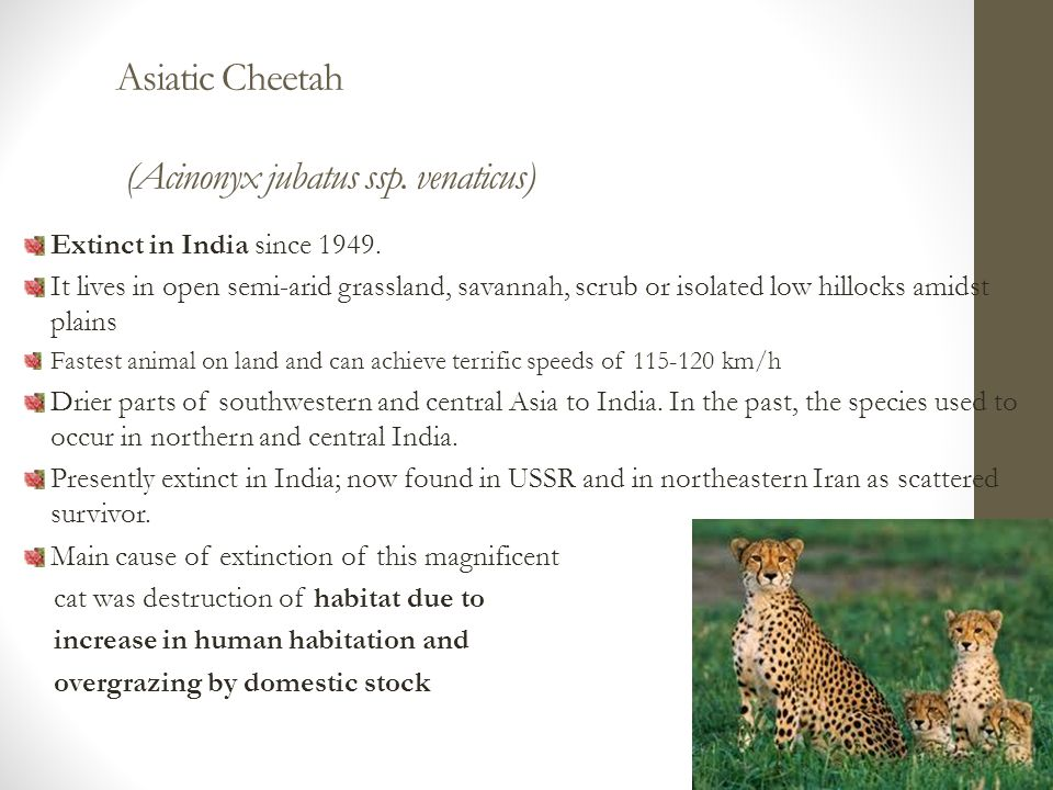 Extinct in India since 1949.