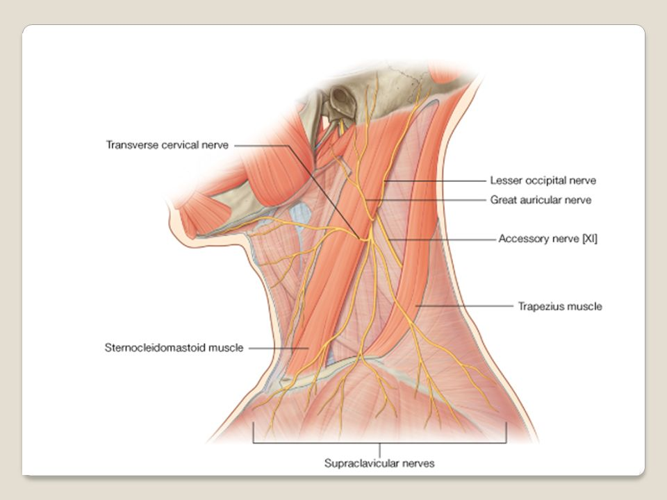 1. . The neck (L. collum, cervix) is the transitional area between ...