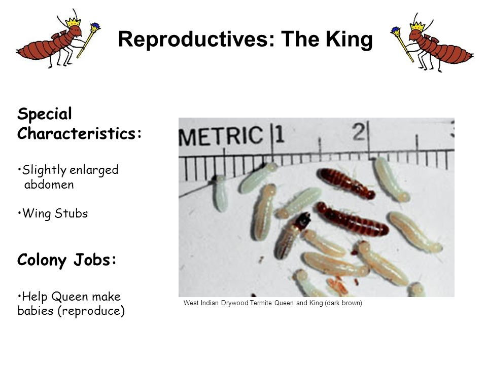 Lesson 2 The Termite Family Learning Levels ppt download