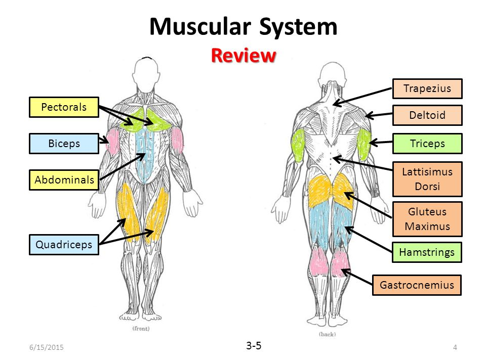 Muscular System Diagram For 5 Grader Auto Electrical Wiring Diagram