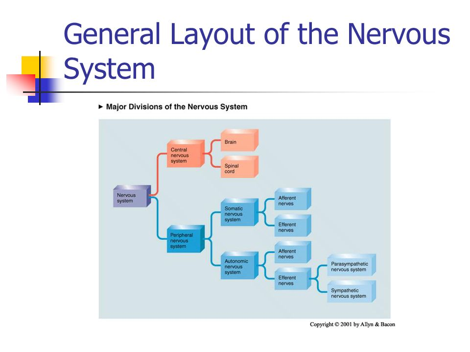 Outline 1 General Layout Of The Nervous System A System Of Twos A