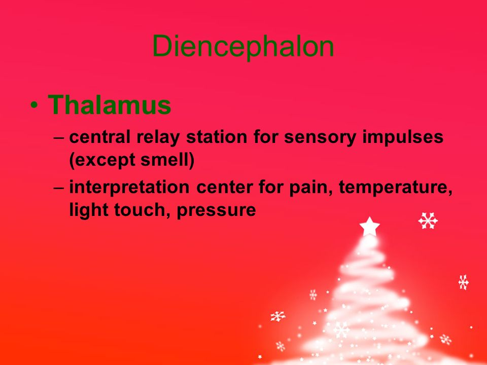 Diencephalon Thalamus –central relay station for sensory impulses (except smell) –interpretation center for pain, temperature, light touch, pressure