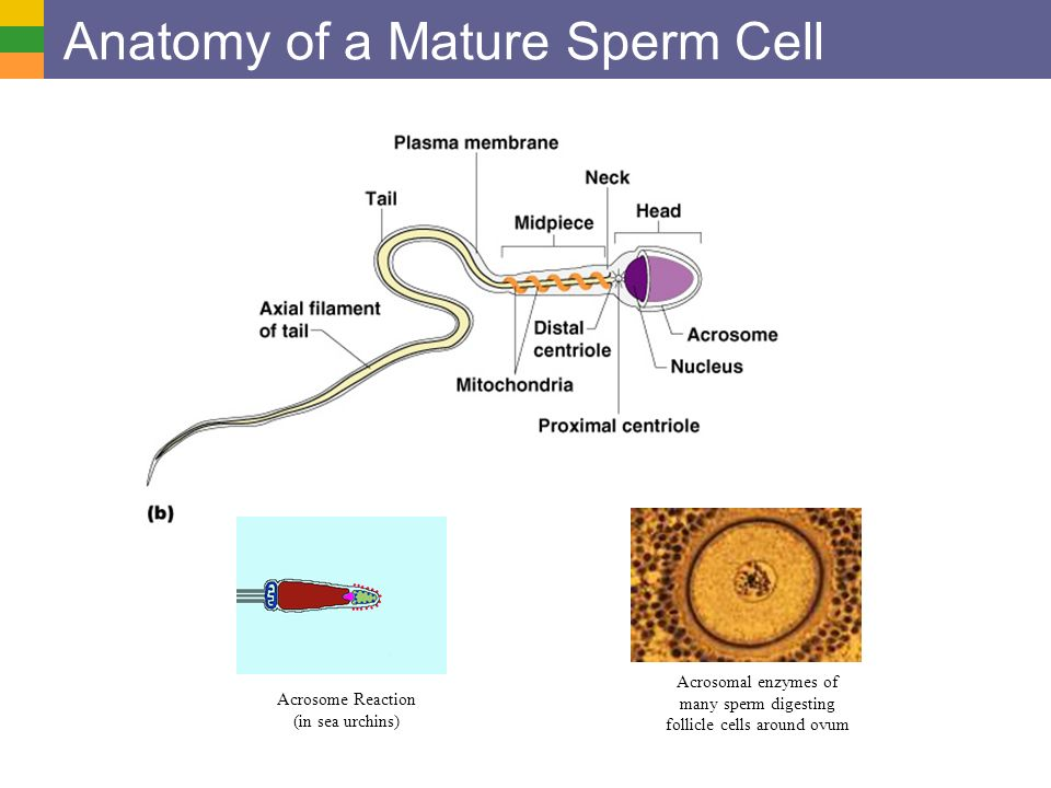 Male Reproductive Anatomy And Physiology Overview Of The