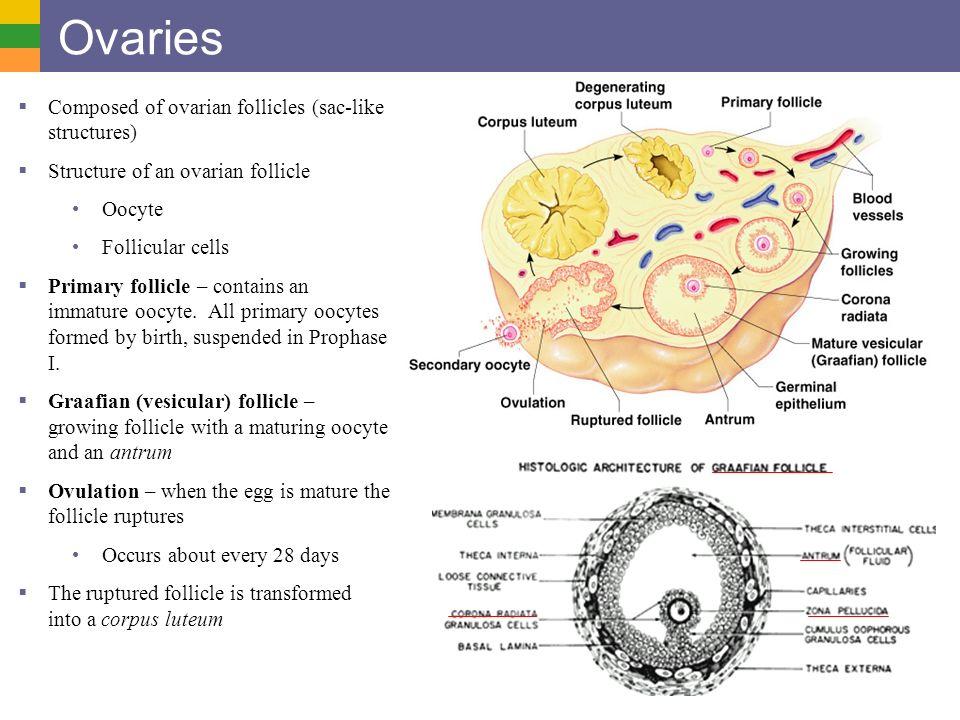 Ovarian follicles contain mature eggs
