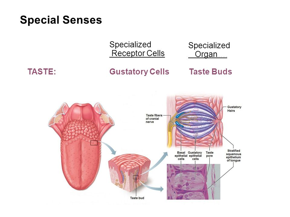 Special Senses Anatomy Diagram Tongue - Circuit Connection Diagram •