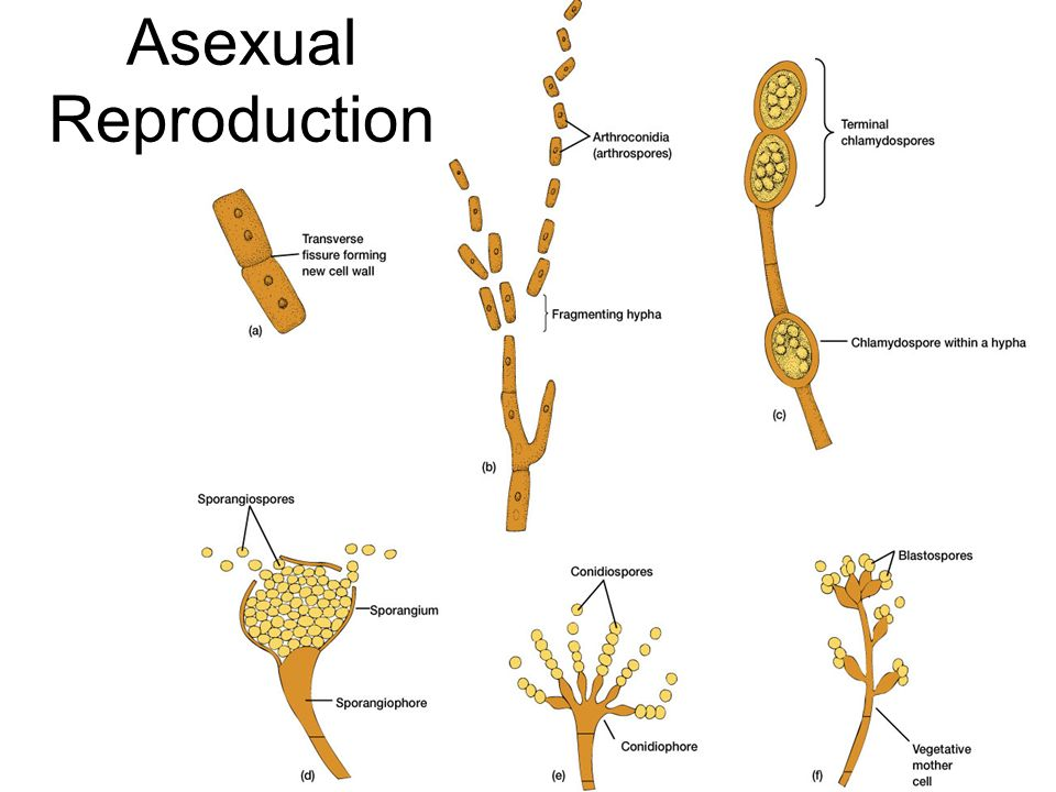 Arthrospores asexual plants