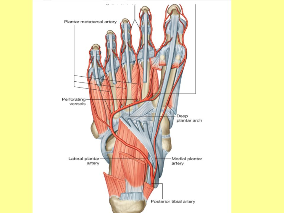 Arteries Blood supply to the foot is by branches of the posterior ...