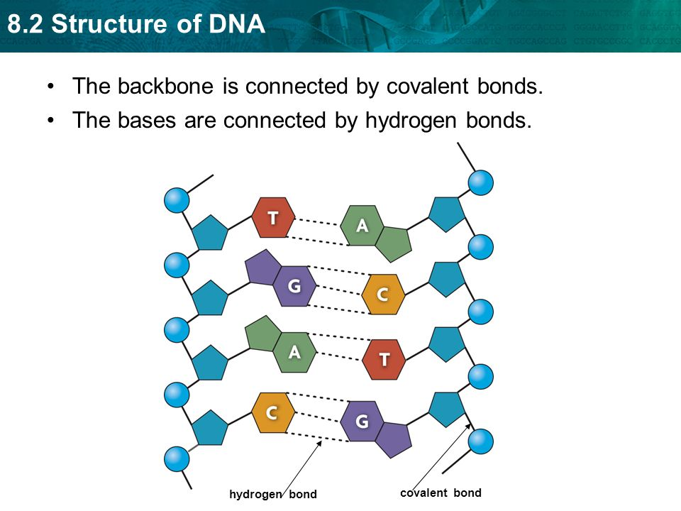 Dna bonds diagram circuit connection diagram 8 2 structure of dna key concept dna structure is the same in all rh slideplayer com dna strand diagram dna translation diagram ccuart Image collections