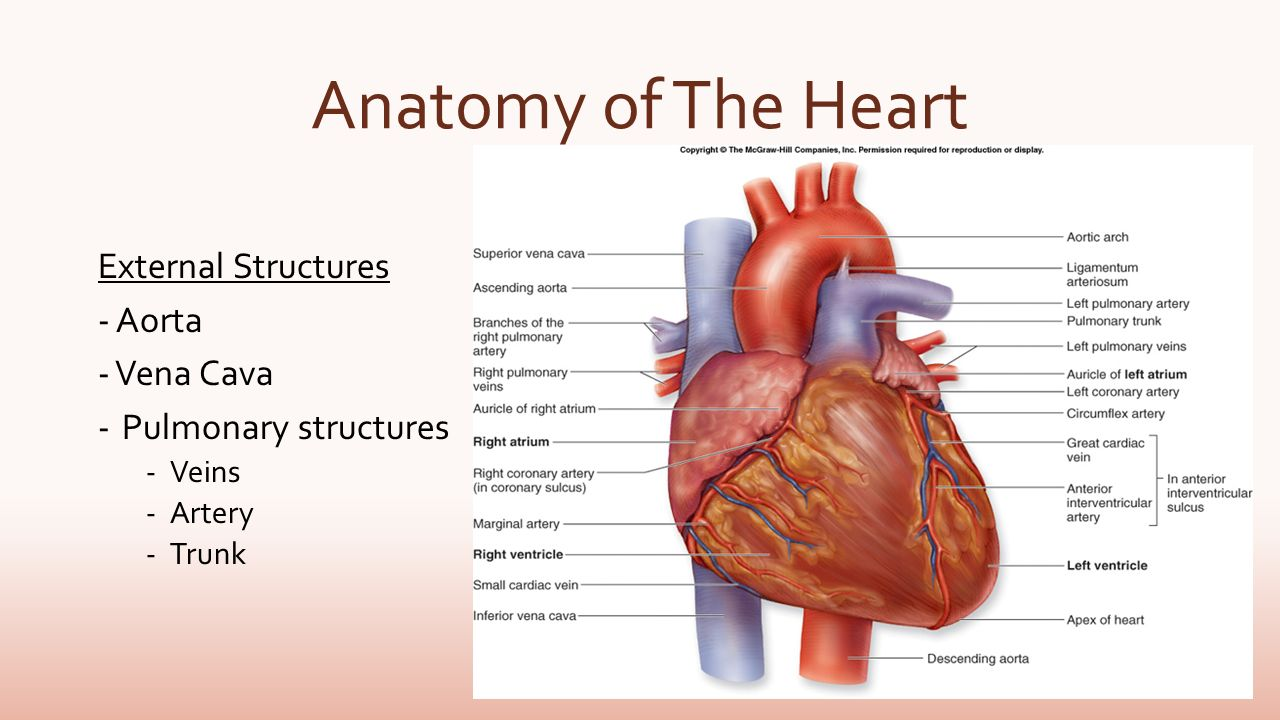 Blood Flow Of The Heart By Megan Wiggins The Heart Anatomy Of The