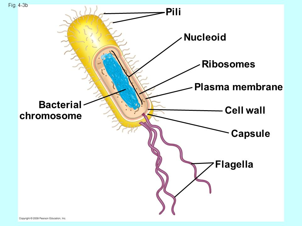 Bacterial cell diagram labeled chromosomes application wiring chapter 4 cell structure and function nucleolus nucleus nuclear rh slideplayer com bacterial cell structure diagram ccuart Image collections