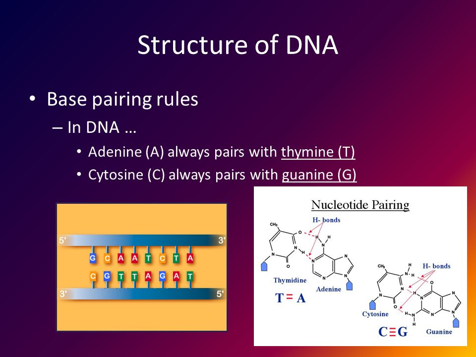 Structure of DNA Base pairing rules – In DNA … Adenine (A) always pairs with thymine (T) Cytosine (C) always pairs with guanine (G)