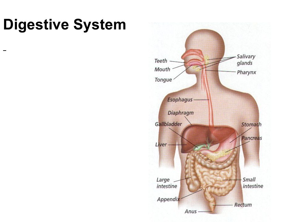 Digestive System Three Activities Are Involved In The Digestive