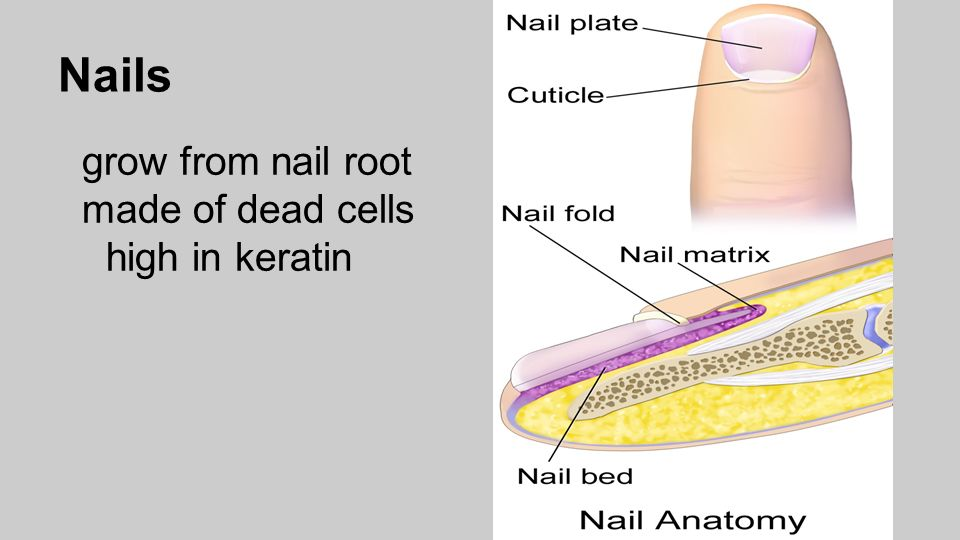 Integumentary System Skin, Nails, Hair, Glands What organs make up ...