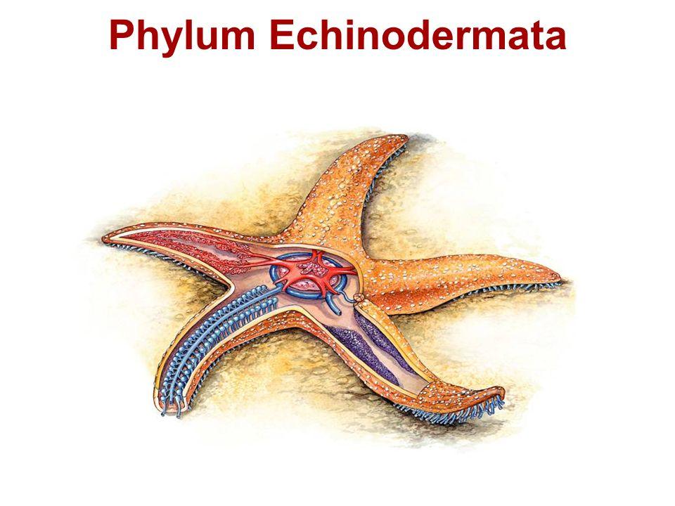 Phylum Echinodermata Some Representatives Of Echinodermata