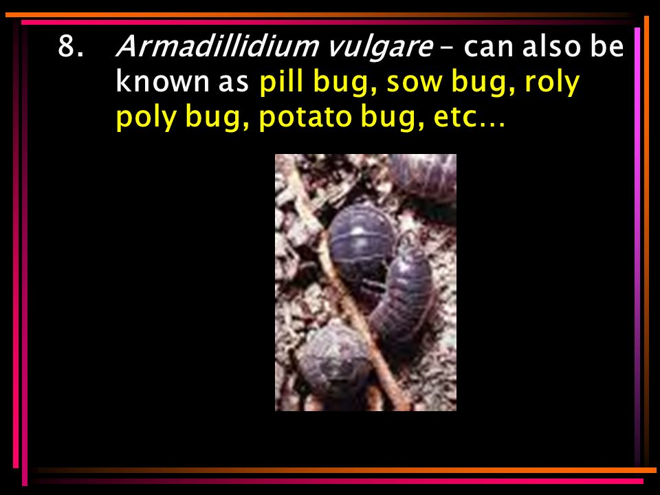 8.Armadillidium vulgare – can also be known as pill bug, sow bug, roly poly bug, potato bug, etc…