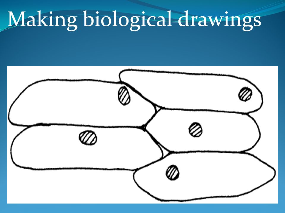 Making Biological Drawings Biological Drawings Are Used To Record